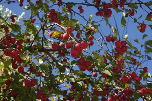 Crabapple, Tree, Red, Fruit