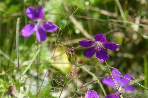Cranesbill, Wild Flower, Blossom, Bloom, Violet, Tender