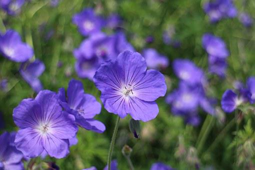 Blue Geranium, Cranesbill, Blue, Blossom, Bloom