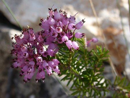 Heather Winter, Bruguera, Erica Multiflora