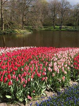 Tulips, Flowers, Keukenhof, Floral, Bloom, Red