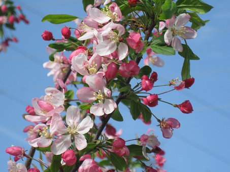 Crab Apple, Blooms, Spring, Flower, Blooming, Blossom