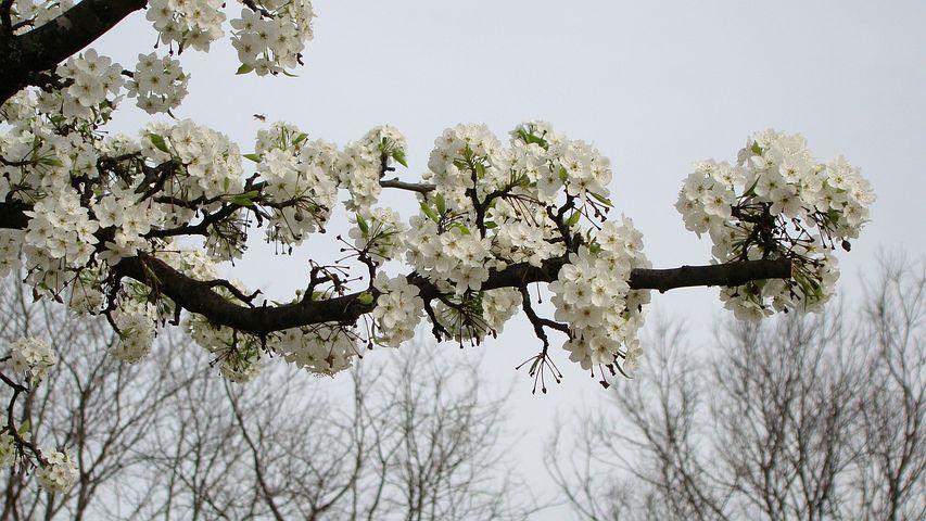 Flower, Crabapple, White, Bloom, Spring