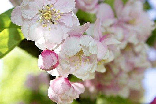 Flowers, Blooms, Apple, Crab Apple, Pink, Buds, Spring