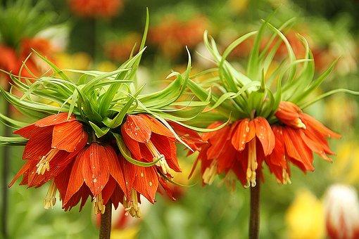 Flowers, Keukenhof, Nature, Garden