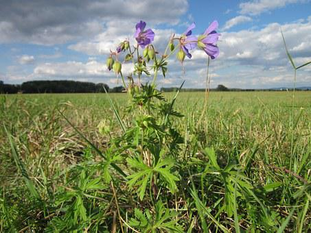 Geranium Pratense, Meadow Cranesbill, Flora, Wildflower