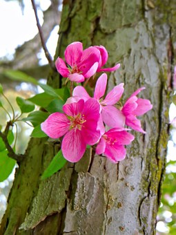 Apple Blossom, Spring, Nature, Blooms, Pink, Crab Apple