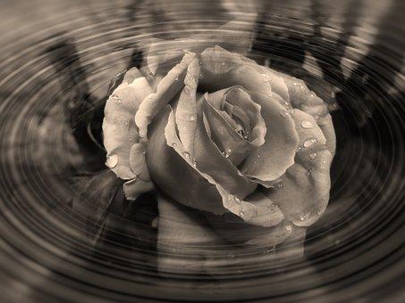 Rose, Flower, Heart, Heart Shape, Form, Wave, Shadow