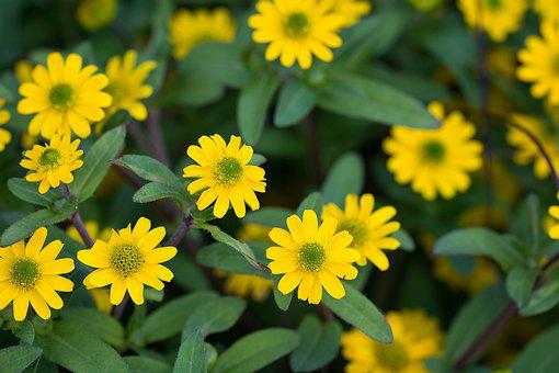 Sanvitalia Procumbens, Hussar Button, Flower, Yellow
