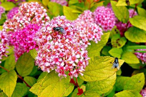 Sedum, Flower, Pink, Pink Flower, Blossom, Bloom, Macro