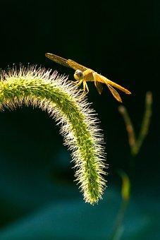 Dragonfly, Insect, Setaria Viridis