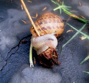 Garden Snail, Snail, Common, Delicate