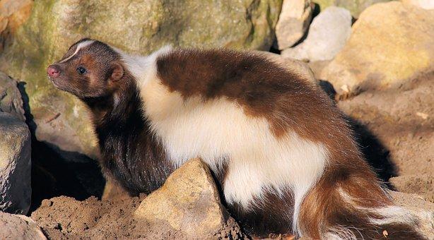 Skunk, Brown, Cute, Fur, Sweet, Creature, Animal World