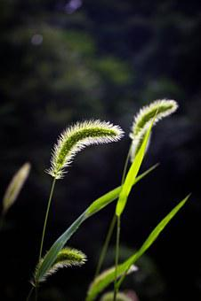 Grass, Plush Grass, The Dog's Tail Grass, Plant, Du Gou