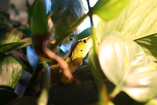 The Gecko, Lizard, Phelsuma Madagascariensis, Reptile
