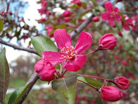 Crabapple, Profusion Pink, Blossom, Pink, Flower, Tree