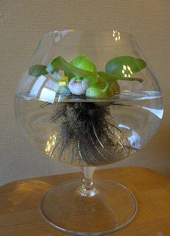 èjhorniâ, Water Hyacinth, Flower, Vase