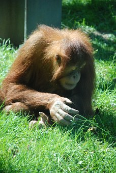 Monkey, Zoo, Animal, Animal World, Cute, Orang Utan