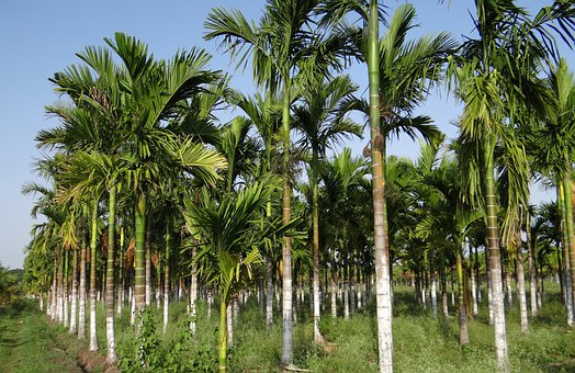 Plantation, Areca Nut, Areca Palm, Areca Catechu