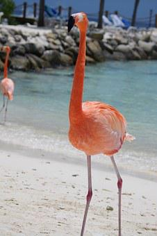 Flamingo, Beach, Summer, Aruba