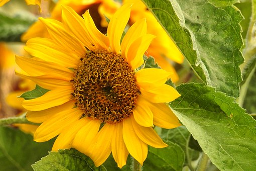 Sun Flower, Blossom, Bloom, Yellow, Summer, Helianthos