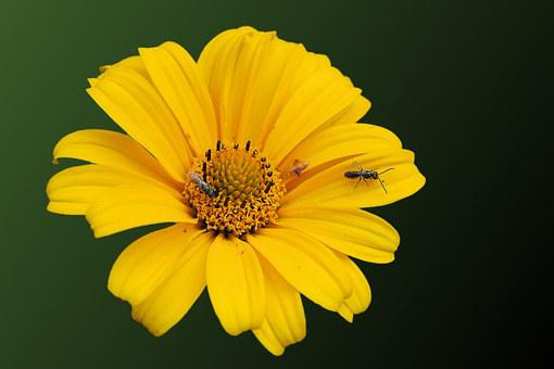 Sun Flower, Insect, Blossom, Bloom, Helianthos