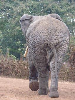 African Bush Elephant, Elephant, Africa, Butt, Safari