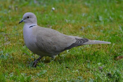 Dove, Grey, Bird, Fly, Feather, Meadow, Nature, Green