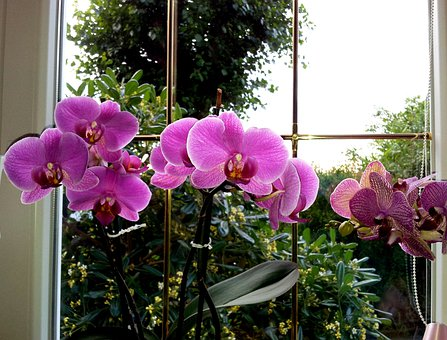Orchid, Flower, Rosa, Fuchsia, Color, Window, Leaves