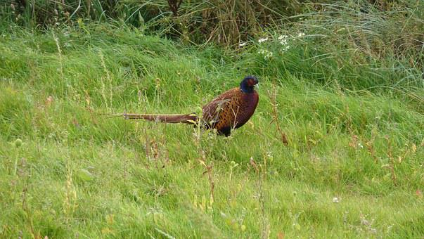 Pheasant, Phasianus Colchicus, Species, Hahn, Male