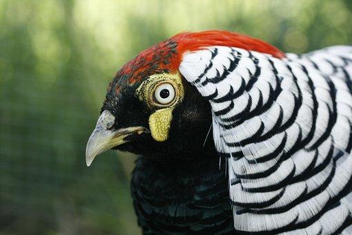 Pheasant, Bird, Kragfasan, Hybrid, Fasantupp