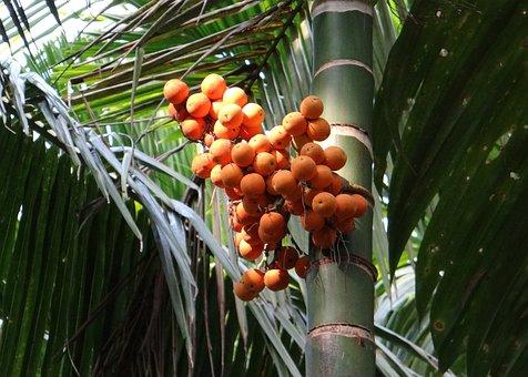 Arecanut, Betelnut, Nut, Palm Nut, Areca Palm, Tree