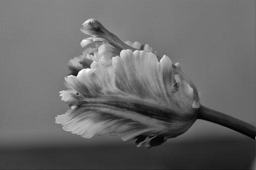 Parrot Tulip, Tulips, Flower, Plant, Parrot, Nature