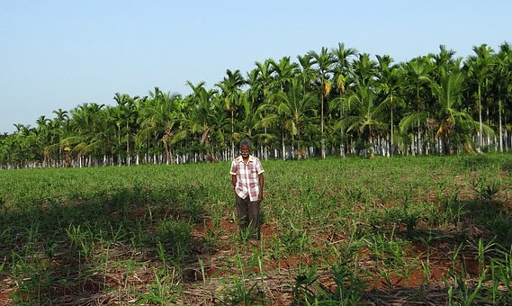 Plantation, Guard, Areca Nut, Areca Palm, Areca Catechu