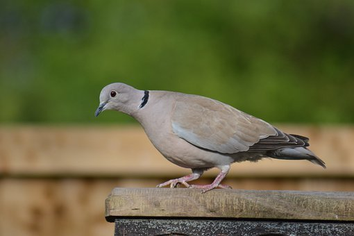 Ring-neck Dove, Streptopelia Capicola, Cape Dove, Bird