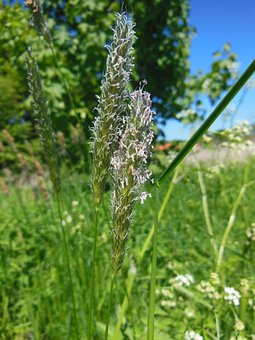 Grasses, Grass, Flower, Seed, Flowering, Close-up