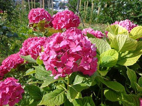 Hydrangea, Flower, Summer, Garden, Fuchsia, Pink, Flora