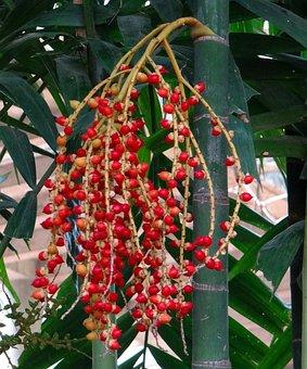 Macarthur Palm, Ptychosperma Macarthurii, Tree, Palm