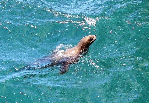 Seal, Animals, Sea, Sea Life, Puerto Madryn, Water