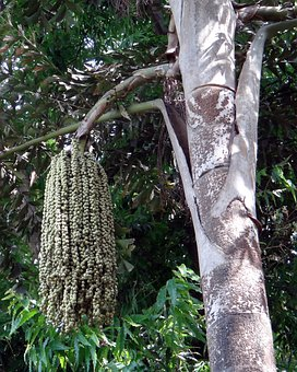 Fishtail Palm, Jaggery Palm, Toddy Palm, Wine Palm