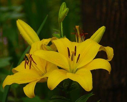 Yuri, Lily, Yellow, Rain, Flowers, Stamen, Pistil