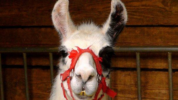 Lama, Zirkustier, Animal, Livestock, Circus, Africa