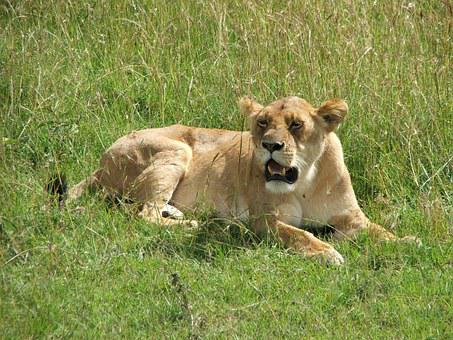 Lioness, Africa, Grass, Lion, Wildlife, Nature, Wild
