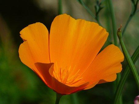 Eschscholzia Californica, Poppy, Blossom, Bloom, Plant