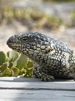 Lizard, Blue Tongue, Shingleback, Tiliqua Rugosa