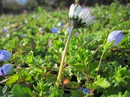 Bellis Perennis, Common Daisy, Lawn Daisy