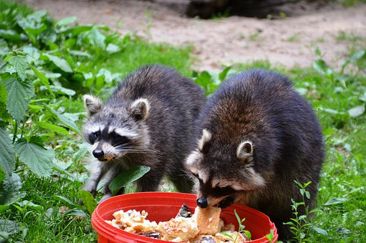 Raccoon, Güstrow, Eco-park, Food