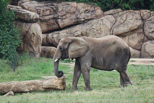 Elephant, Indian Elephant, Trunk, Animal, Wildlife