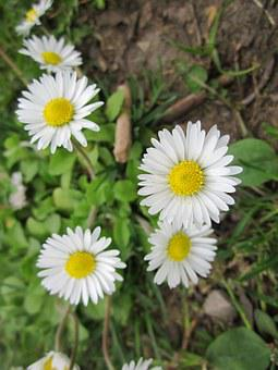 Bellis Perennis, English Daisy, Common Daisy