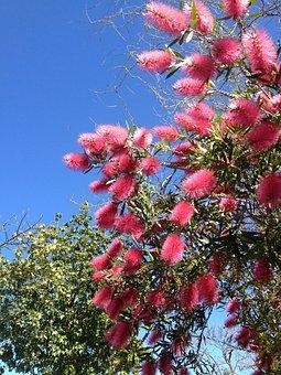 Bottle Brush Flower, Red Flower, Flora